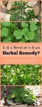best 20 weed plants ideas on pinterest weed types growing weed