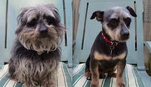 shorkie haircut photos 15 dogs before and after their spring haircuts the dodo