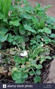 diuris corymbosa common donkey orchid corymbosa stock photos u0026 corymbosa stock images alamy