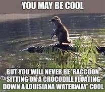 Alligator Meme - raccoon riding alligator meme yahoo image search results funny