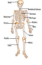 Human Anatomy Worksheet Garbesttopksu25 U0027s Soup