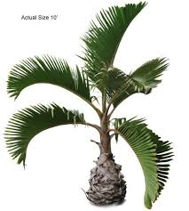 bottle palm tree welcome to your local nursery offering
