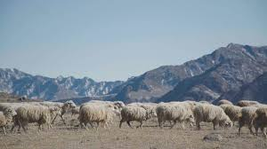 Sheep Are Walking Flock Of Domestic Animals Herd On The Pasture