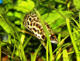 freshwater fish absolutely fish blogs leopard ctenopoma the brown fish with a