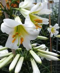 lilies flower hardy lilies flower bulb index