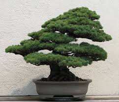 Japanese House Plants Bonsai Wikipedia