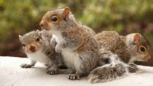 how to control squirrels at home and garden problems facing how