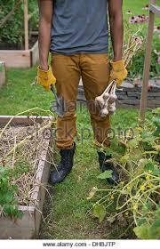 garden gloves stock photos u0026 garden gloves stock images alamy