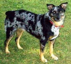 blue heeler x australian shepherd heelers and acds questions dog trick academy forum