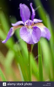 iris flower brevard north carolina usa stock photo royalty