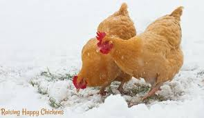 are high protein foods good for chickens