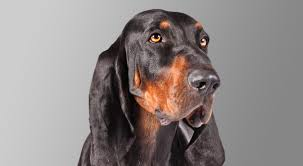 bluetick coonhound with cats black and tan coonhound dog breed information american kennel club