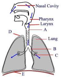 biology human respiratory system worksheet test paper
