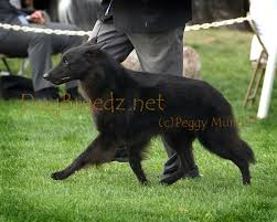 belgian sheepdog nationals dogbreedz photo keywords belgian sheepdog