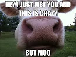 Funny Cow Memes - hey i just met you and this is crazy but moo adorable pinterest