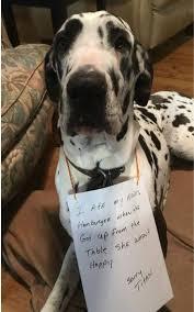Great Dane Meme - 4226 best great dane dogs images on pinterest great danes