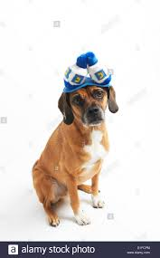 hanukkah hat puggle in hanukkah hat stock photo royalty free image 52585084