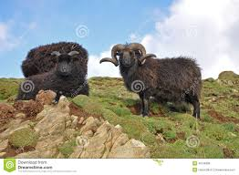 ram animal stock photos images u0026 pictures 7 944 images