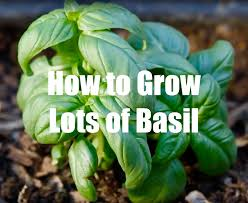 how to grow lots of basil youtube