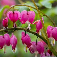 bleeding heart flower pink bleeding heart dicentra american