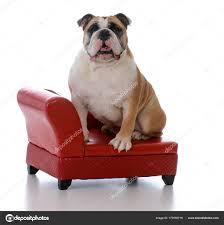 levrette sur canapé chien assis sur un canapé photographie willeecole 177659718
