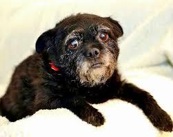 affenpinscher puppies for sale in texas american affenpinscher rescue home facebook