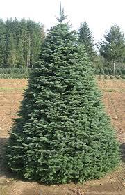 noble fir christmas tree noble fir wedding venue wichita christmas tree farm prairie pines