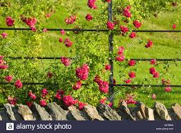 rambling roses growing at holehird gardens windermere cumbria