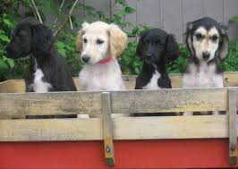 afghan hound pictures afghan hound puppies puppy dog gallery