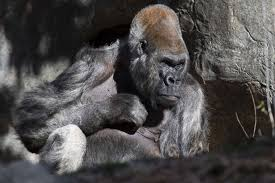 Gorilla by Gorilla Dads Zoo Atlanta