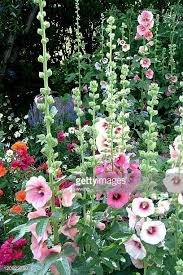 hollyhock flowers hollyhock stock photos and pictures getty images