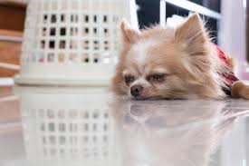 coli infection in dogs symptoms causes diagnosis treatment