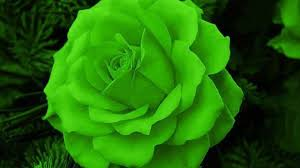 green roses green wallpaper wallpapers browse