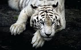 white tiger with beautiful blue resting on a tree log