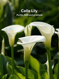 callalily flower history and meaning of calla lilies proflowers