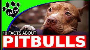 american pitbull terrier akc pitbull dogs 101 facts about american pit bull terrier animal