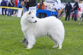 american eskimo dog giving birth six breeds of dog that thrive in cold weather pets4homes