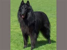 belgian sheepdog guard dog belgian sheepdog information and facts dog breeds