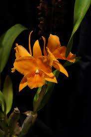 plants native to pennsylvania pennsylvania orchids the academy of natural sciences