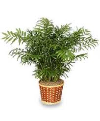 parlor palm houseplant care