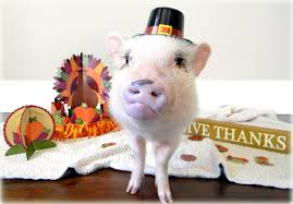 happy thanksgiving family and friends happy thanksgiving from mini pig oscar life with a mini pig