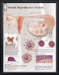 Anatomy Of Female Reproductive System Top 25 Best Female Reproductive System Anatomy Ideas On Pinterest