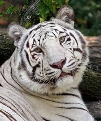 white tiger the cincinnati zoo botanical garden