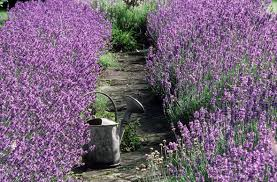 alan titchmarsh tips on growing lavender in your garden garden