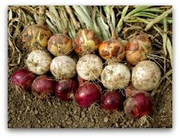 how to store onions from your vegetable garden