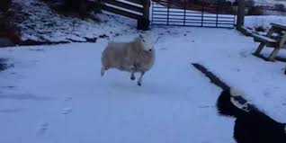 adorable video of sheep that thinks it u0027s a dog