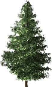 free illustration spruce tree spruce tree free image on