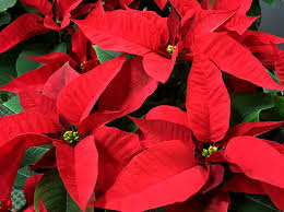 poinsettia care tips dennis u0027 7 dees