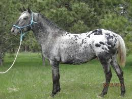 881 best appaloosa stallions images on pinterest beautiful