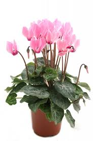 garden design garden design with cyclamen the best plant for
